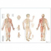 Laminated Body Acupuncture Chart Poster