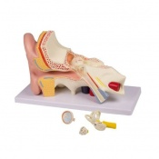 Anatomical Ear Model 4 Parts