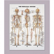 Anatomical Chart of the Skeletal System