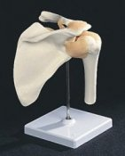 Anatomical Model Flexible Ligament Shoulder Joint