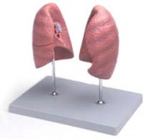 Anatomical Model Left and Right Lungs