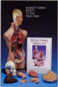 Anatomical Model Value Torso 11 Parts