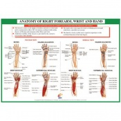 Chartex Forearm, Hand and Wrist Anatomical Chart