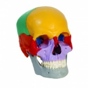Coloured Dissectible Human Skull