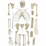 Disarticulated Full Human Skeleton With 4 Part Skull
