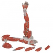 Dissectible Muscled Arm Model (6 Parts)