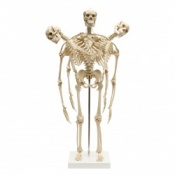 Mini Anatomical Skeleton With Flexible Spine