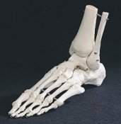 Anatomical Model Foot and Ankle Skeleton A31