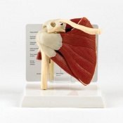 Anatomical Model of a Muscled Shoulder Joint