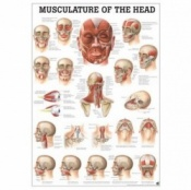 Musculature of the Head Anatomical Poster