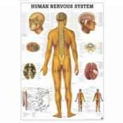 Human Vascular System Anatomical Poster