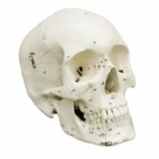 Human Skull With Numbers