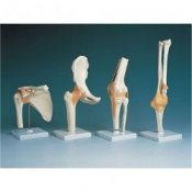 Anatomical Joint Models