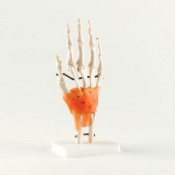 Life-Size Hand Joint Model With Ligaments