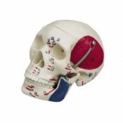 Mini Anatomical Model Skull With Muscle Painting