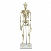 Mini Anatomical Skeleton