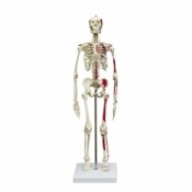 Mini Anatomical Skeleton With Flexible Spine and Muscle Painting