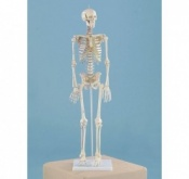 Miniature Skeleton With Muscle Markings Daniel