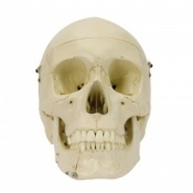 Structure Coloured Human Skull