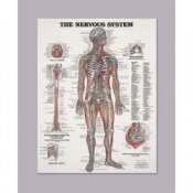 Anatomical Chart of the Nervous System