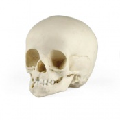 Paediatric Skull 14 Months Old