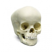 Paediatric Skull 4 Year Old