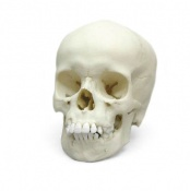 Paediatric Skull 9 Year Old