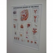 3D Male Reproductive Organs Poster