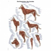 ''The Canine Musculature'' Educational Chart