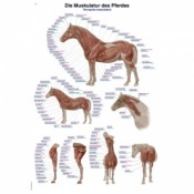 ''The Equine Musculature'' Educational Chart