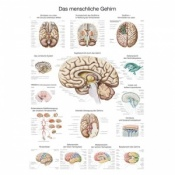 ''The Human Brain'' Educational Chart