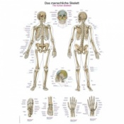 ''The Human Skeleton'' Educational Chart