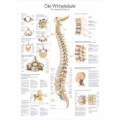 ''The Vertebral Column'' Educational Chart