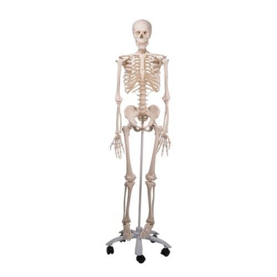 Anatomical Model Skeleton Stan A10