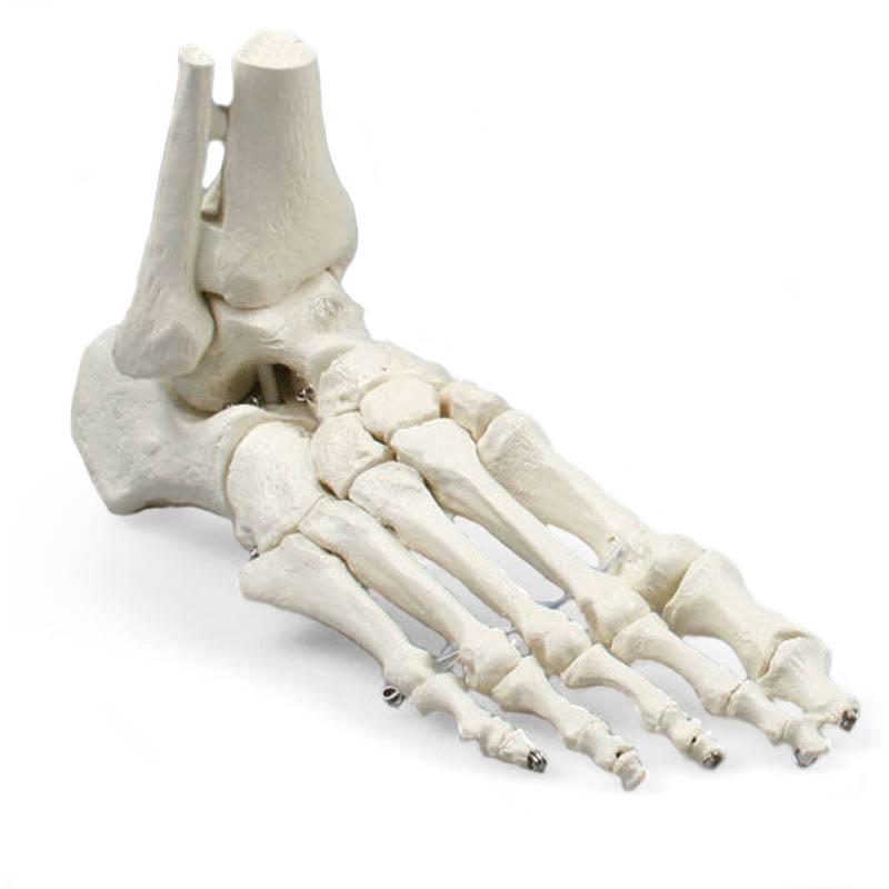 Lifesize Model Foot Skeleton with Tibia and Fibula Insertions ...