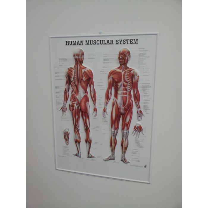 3d Human Muscular System Poster Sports Supports Mobility
