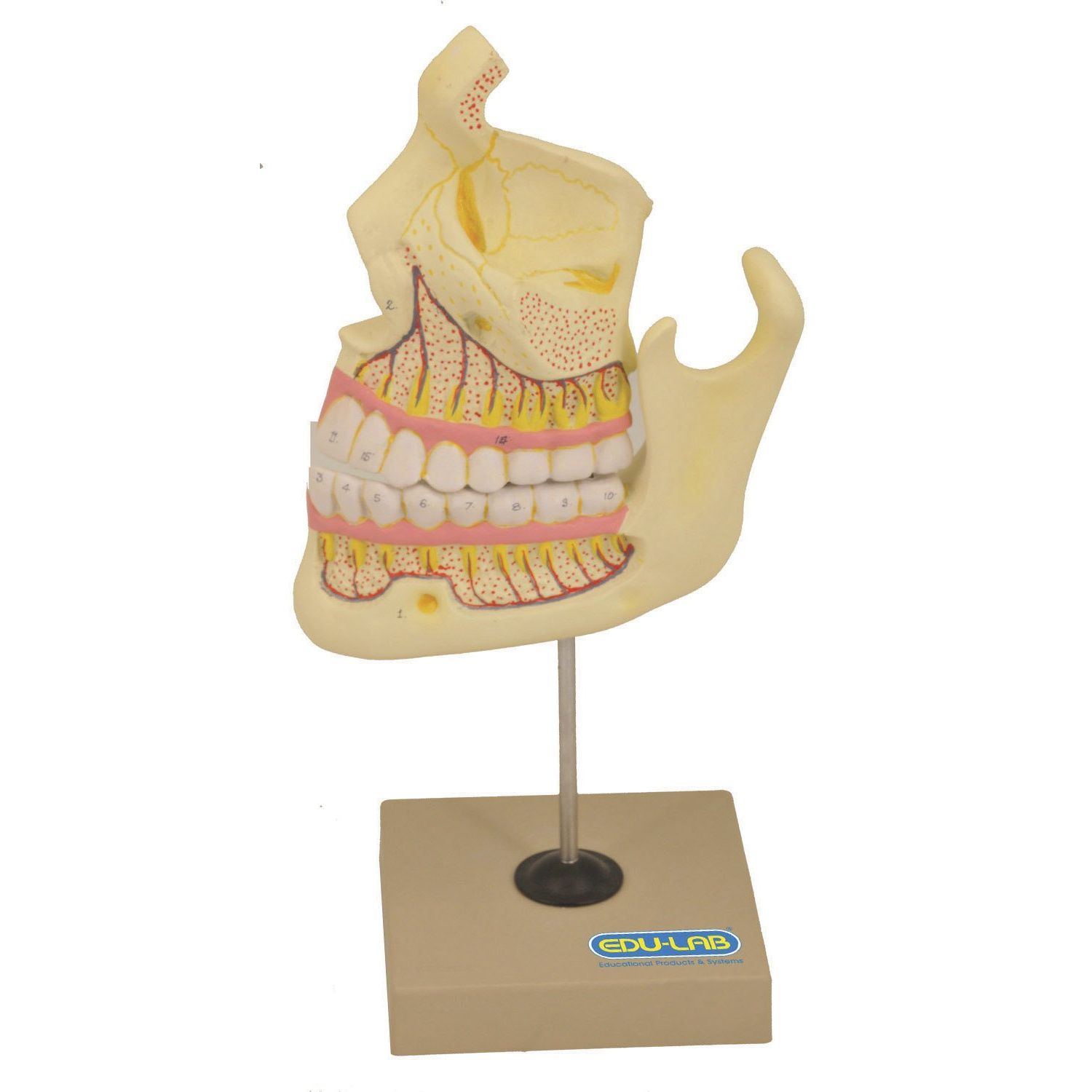 The Model: Human Upper and Lower Jaw :: Sports Supports | Mobility ...