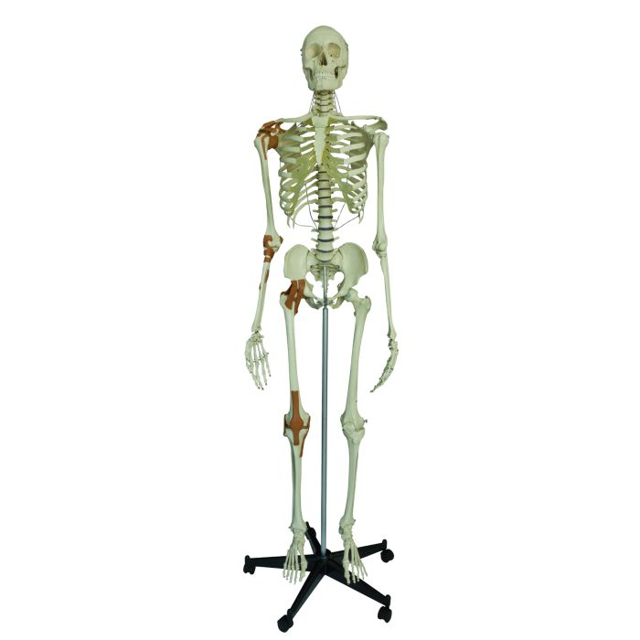 Model Skeleton Human Full Size With 6 Ligaments Sports Supports