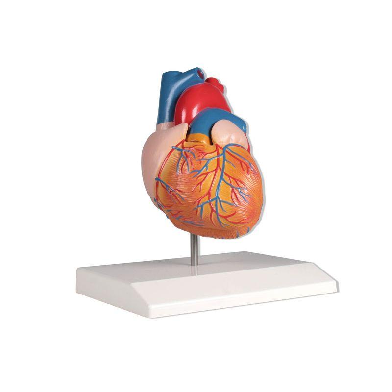 2-Part Anatomical Heart Model