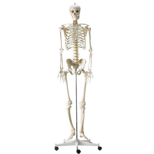 Life-Sized Human Skeleton