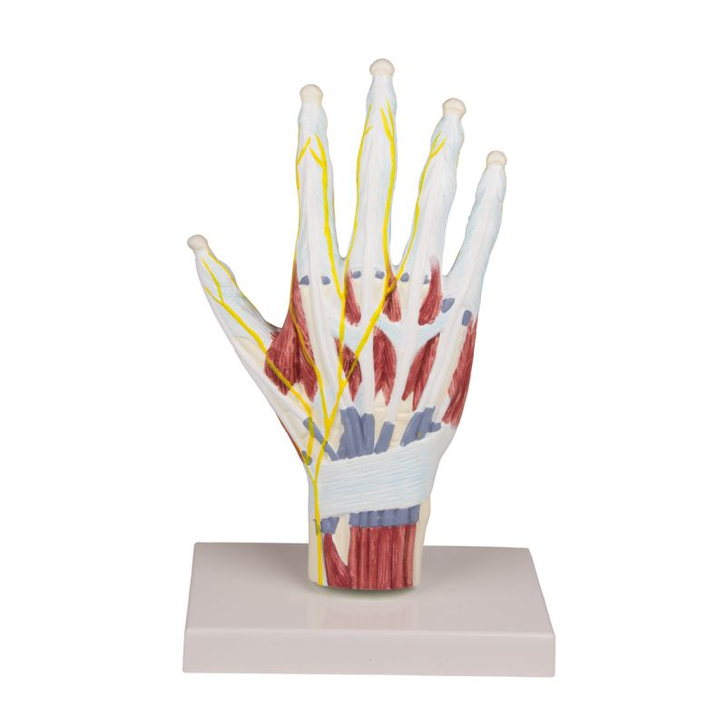Hand Anatomy Model :: Sports Supports | Mobility | Healthcare Products