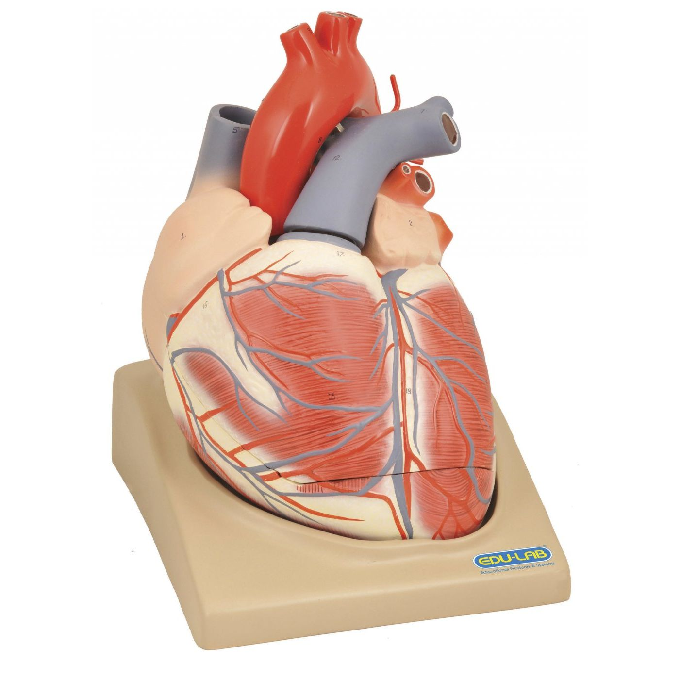 Human Heart Diagrams Schematic Diagram Parts Of A The Model Extra Large 2 4 Sports Supports