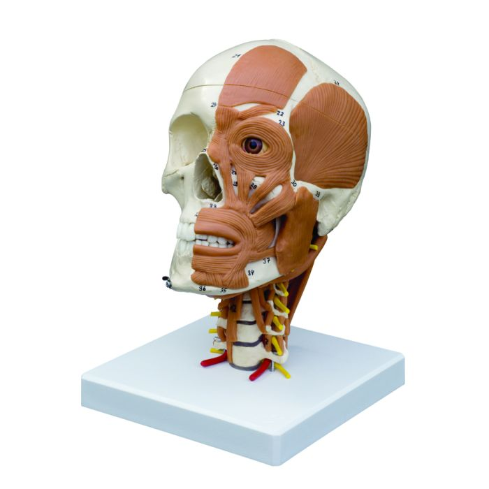 Anatomical Skull With Muscles Of Head And Cervical Spine Sports
