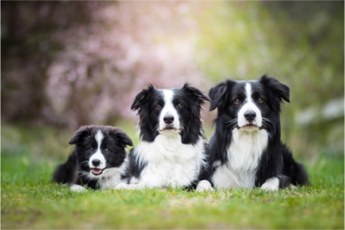 Border Collie Family