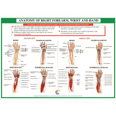 Chartex Forearm, Hand and Wrist Anatomical Chart :: Sports Supports ...