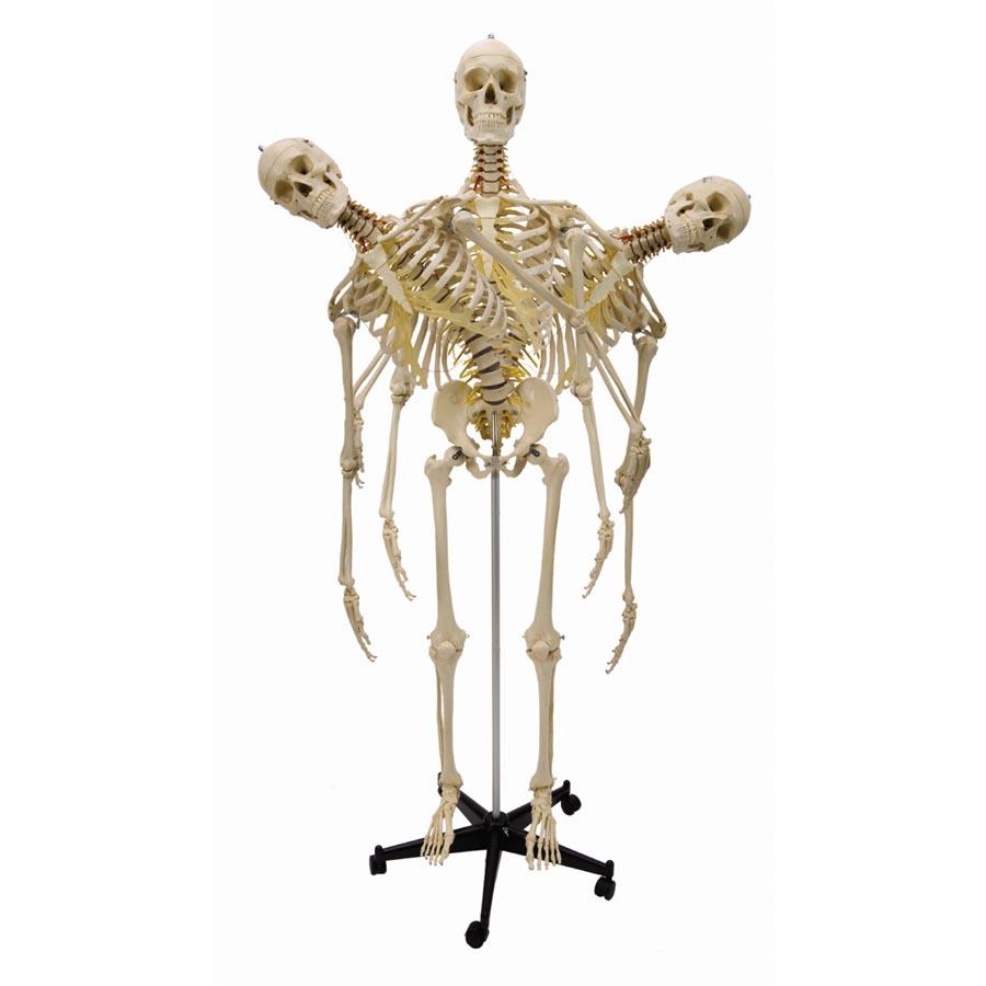 Flexible Model Skeleton Human Full Size Sports Supports