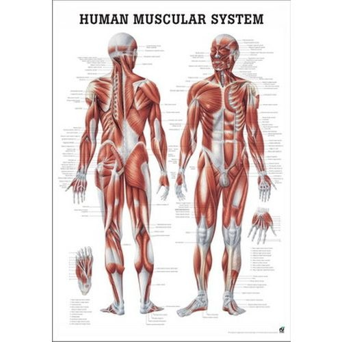 Human Muscular System Poster :: Sports Supports | Mobility ...