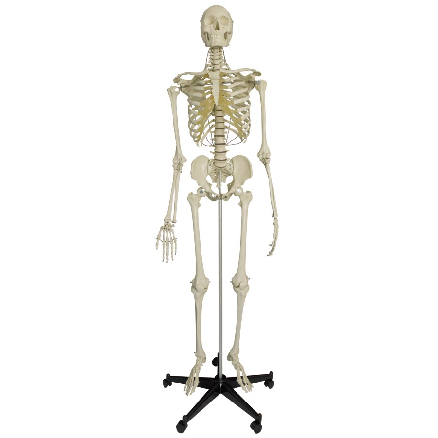 Model Skeleton Human Full Size Heavy Duty With 15 Year ...