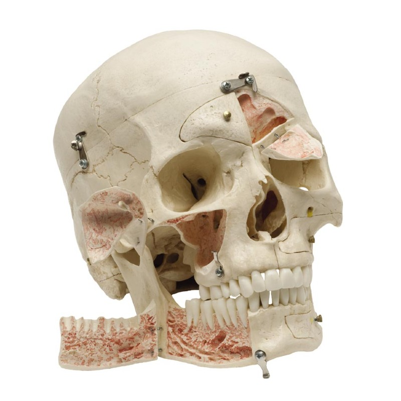 Human Demonstration Skull :: Sports Supports | Mobility | Healthcare ...