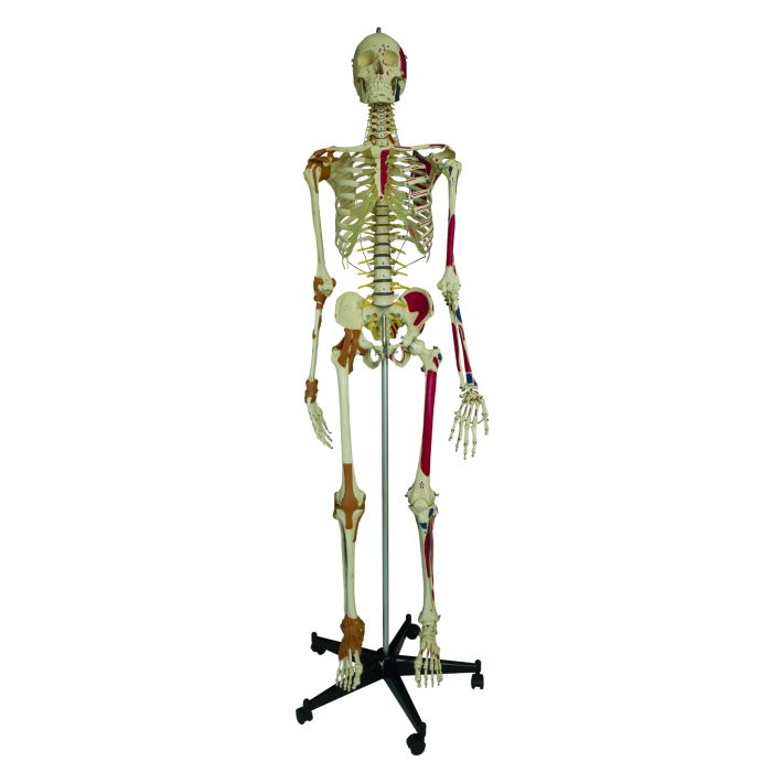 Model Skeleton Human Full Size Super